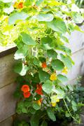 Nasturtiums in a raised flower bed Stock Photos