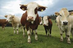 Alpine oxen on Teichalm Stock Photos