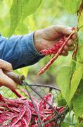 A man harvesting borlotti beans in a garden with a wire basket Stock Photos