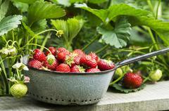 Freshly harvested strawberries in a grey enamel sieve in a garden Stock Photos