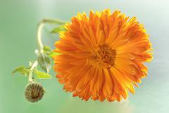 A calendula flowers and buds Stock Photos
