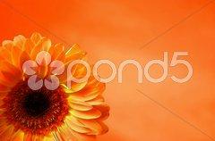 Orange gerbera on an orange background Stock Photos