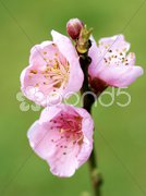 Detail of a little apple-tree branch blooming Stock Photos