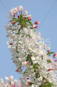 Detail of an apple-tree branch blooming Stock Photos