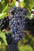 Ripe pinot noir grapes on a vine (Austria) Kuvituskuvat