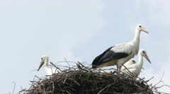 Stork family in the nest, 4k Stock Footage