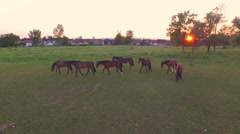 AERIAL: Big group of curious beautiful brown horses running on meadow field Stock Footage