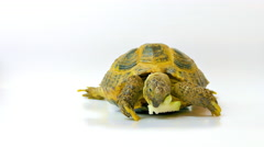 Kleinmann's Tortoise / Egyptian Tortoise Stock Footage
