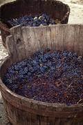 Harvested red wine grapes in a wooden vat Stock Photos