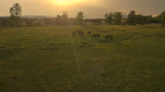 AERIAL: Horses pasturing on sunny grass field in early morning before the storm Stock Footage