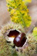 Chestnuts on a sprig with leaves Stock Photos