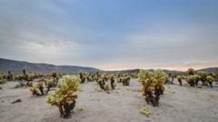 Cholla Cactus Garden Cloudy Sunset Stock Footage