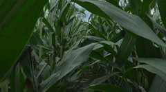 First Person POV Walking Through Dense Corn Stock Footage