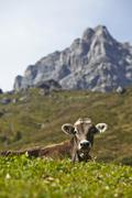 A cow on the alps in Tyrol Stock Photos