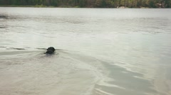 Swimming at leke black rottweiler dog in collar Stock Footage