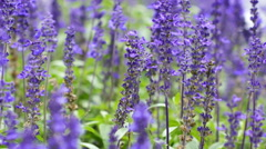 4K : Close up of bee flying around lavender flower with the wind Stock Footage