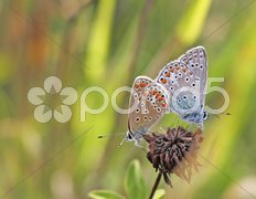Two butterfly Stock Photos