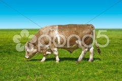 Big bull cow Stock Photos