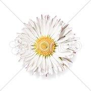Daisy flower Kuvituskuvat
