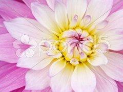 Pink yellow flower Kuvituskuvat