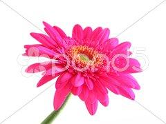Pink gerber Stock Photos