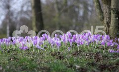 Purple crocuses Stock Photos