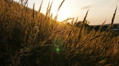 Spikelets swaying in the wind, at dawn. Stock Footage