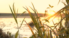 Sunset at river with seaweed and green grass. 4K Stock Footage