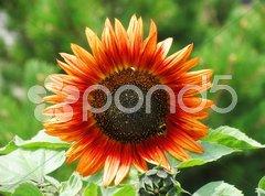 Red sun flower Stock Photos