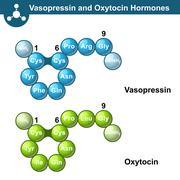 Vasopressin and oxytocine hormones Stock Illustration