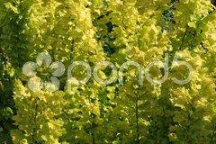 Goldulme Stock Photos