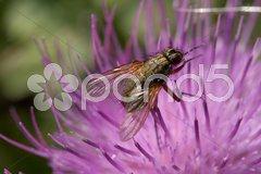 Fliege auf Distelblüte Stock Photos