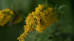 Living Photo of Golden Rod Perfect Color Exposure Stock Footage