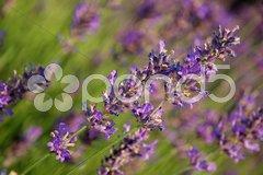 Lavendel Y5153 Stock Photos