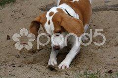 Grabender Beagle Stock Photos