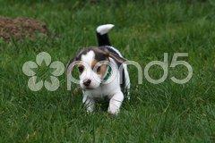 Beagle-Welpe Stock Photos