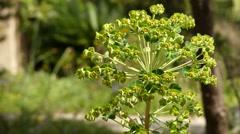 Euphorbia characias (Mediterranean Spurge) Stock Footage