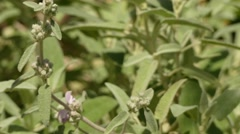 Phlomis italica is a genus of over 100 species of herbaceous plants, subshrub Stock Footage