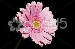 Gerbera in rosa Stock Photos