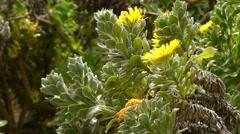 Asteriscus sericeus (Canary Island Daisy) Stock Footage