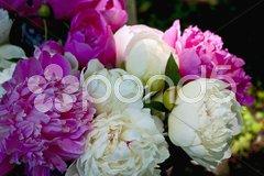 Ofingstrosen weiß und rosa Stock Photos