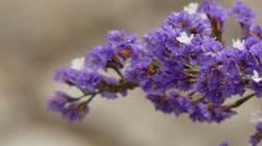 Limonium sventenii (Plumbaginaceae) Stock Footage