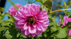 A bee pollinates a flower in the home garden Stock Footage