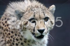 Gepard Stock Photos