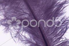 Violette Feder vor weiß Stock Photos