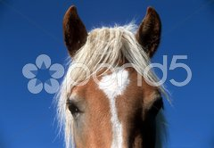Haflinger Pferd Kopf Stock Photos