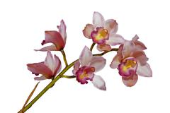 Pink Cymbiudium Orchids with Green Stem on White Background Stock Photos