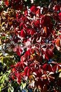 Herbstliches Weinlaub Stock Photos