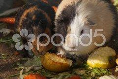 Meerschweinchen Stock Photos