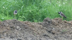 Pair of red-wattled lapwing bird on the soil pile in the field Stock Footage